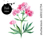 hand drawn watercolor valerian... | Shutterstock . vector #600112754
