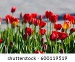 tulips. a bulbous spring... | Shutterstock . vector #600119519