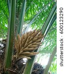 Small photo of African oil palm is monoecious, produces separate male and female inflorescences on the same palm in alternation. This is the male one borne in dense cluster with each individual small flower.
