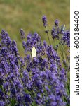 Small photo of Common brimstone butterfly (gonepteryx rhamni) sitting among violet blooming lavender