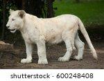 White Lion Cub. The White Lion...