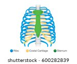 overview of human rib structure.... | Shutterstock .eps vector #600282839