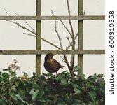 Female Blackbird Juvenile In...