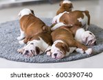 Stock photo cute english bulldog puppies lie together on the carpet 600390740