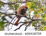 brown howler monkey  alouatta... | Shutterstock . vector #600418709