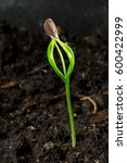 The Germination Of A Pine Seed  ...