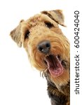 Small photo of Portrait of an adorable Airedale terrier, studio shot, isolated on white