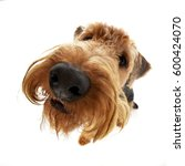 Small photo of Wide angle shot of an adorable Airedale terrier - studio shot, isolated on white