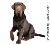 Stock photo studio shot of an adorable labrador retriever sitting on white background 600526454