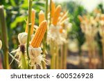 corn field on crop plant for...   Shutterstock . vector #600526928