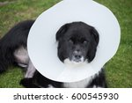 Small photo of Sad dog in yard wearing medical cone after ACL surgery.