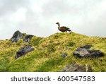 Nene Goose On Maui Misty...