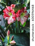 Small photo of Multiple stripy pink white hippeastrum (amaryllis) flowers with red stripes on petals in nature garden background Star Lily Amaryllidaceae delightful houseplant with winter blossom used in bouquets