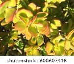 Crassula Ovata  Jade Plant ...
