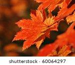 Red Maple Leaf  Autumn