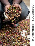 grains of ripe coffee in the... | Shutterstock . vector #600655910