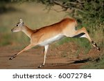 Female Red Lechwe Antelope ...