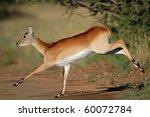 Female Red Lechwe Antelope ...