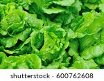 green lettuce plants in growth... | Shutterstock . vector #600762608