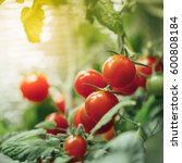 ripe cherry tomatoes bush with... | Shutterstock . vector #600808184