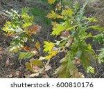 young oak trees among herbs ... | Shutterstock . vector #600810176