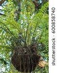 Fern In Coconut Fiber Pots For...