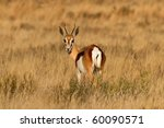 Male Springbuck looking back on the African Grass Plains - stock photo