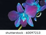 Exotic Blue Malaysian Orchid O...