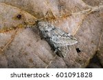 Small photo of March Moth, Alsophila aescularia on a fallen oak leaf in Spring.