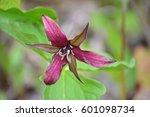 Small photo of Wildflowers in spring, red trillium (Trillium erectum)