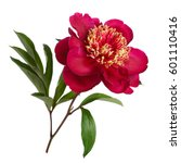 Stock photo red peanut flower peony isolated on white background 601110416