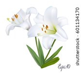 White Lily Isolated On White...