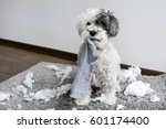 Naughty Poodle Dog With Sock I...