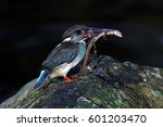 Small photo of Blue-banded Kingfisher Alcedo euryzona Male Birds Feeding