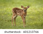 A White Tailed Deer Fawn...