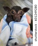 Small photo of Dobby is an orphaned Spectacled Flying Fox being cared for at a wildliife hospital in Kuranda, Queensland. Although popular with tourists, flying foxes are a controversial issue among locals.