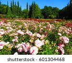 Stock photo pink roses roses garden in szczcecin poland 601304468