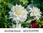 White Colored Dahlia With Four...