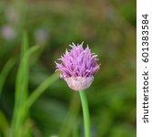 Small photo of Chive (Allium schoenoprasum) flower in summer