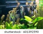 Aquarium Fish Angel Fish