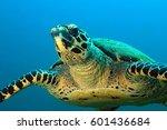 hawksbill turtle  eretmochelys... | Shutterstock . vector #601436684
