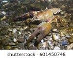 European Crayfish  Astacus...
