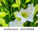 White Lily. Close Up Of An...