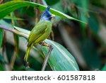crested finchbill  birds of... | Shutterstock . vector #601587818