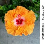 Orange Hibiscus With Green...