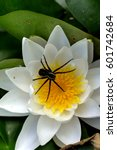Small photo of Spider sitting in an ambush on a flower.