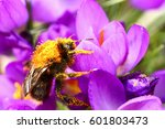 Bee Pollinating A Crocus Flowe...