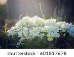 white flowers primula vulgaris... | Shutterstock . vector #601817678