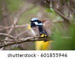 adult male superb fairy wren ... | Shutterstock . vector #601855946