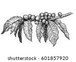 coffee plant illustration ... | Shutterstock .eps vector #601857920